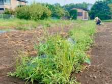 さつま芋畑の除草作業
